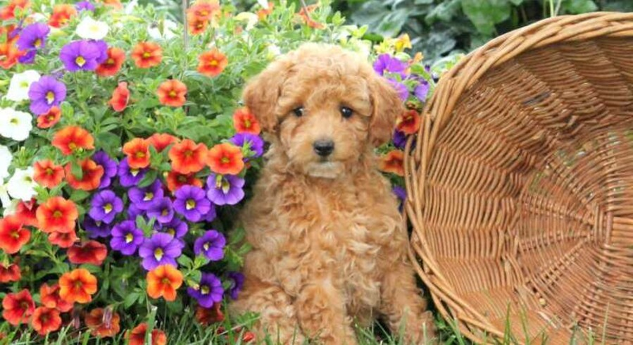 Miniature Poodle.Meet Ollie a Puppy for Adoption.