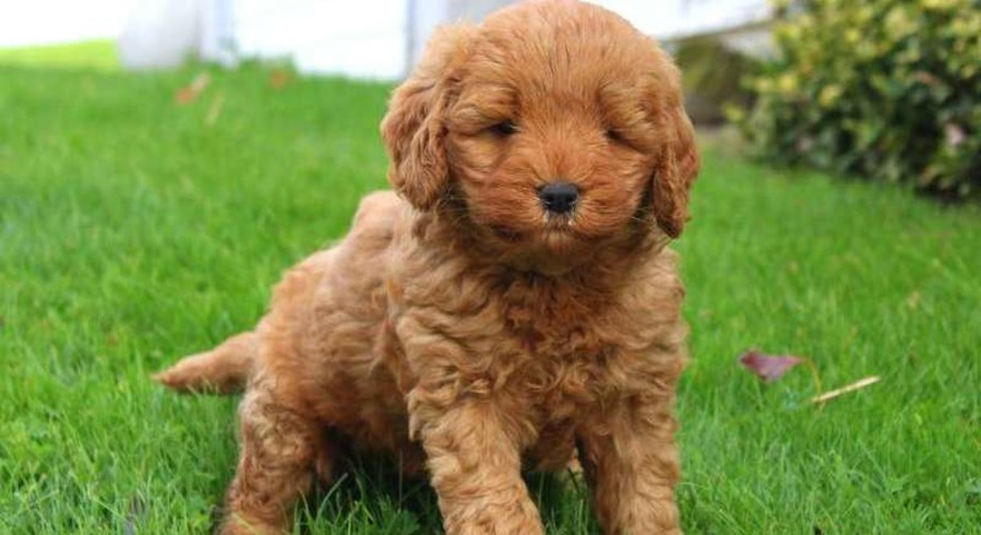 Goldendoodle Service Dogs For Adoption