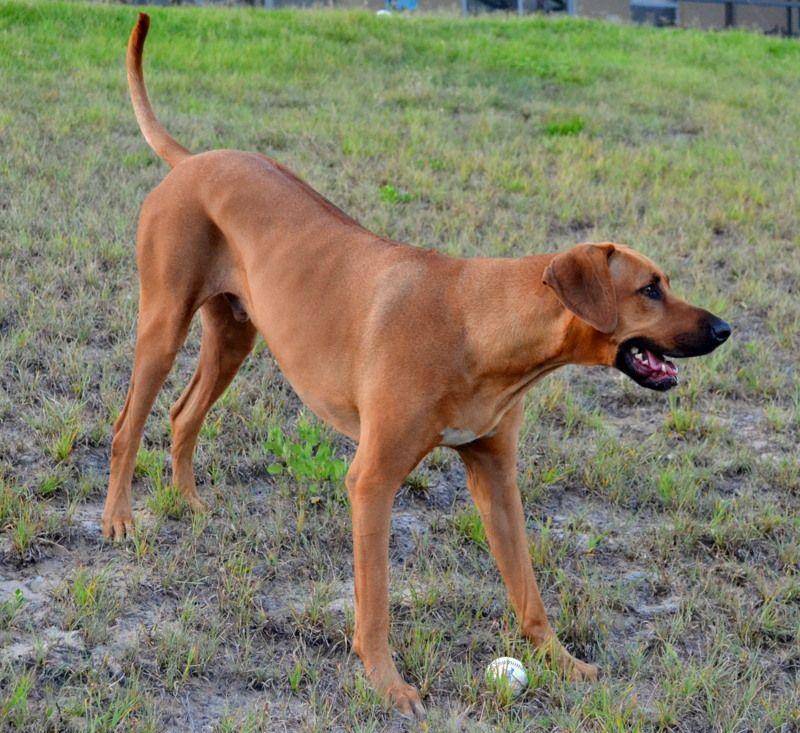 What Dog Breeds Make Up The Rhodesian Ridgeback