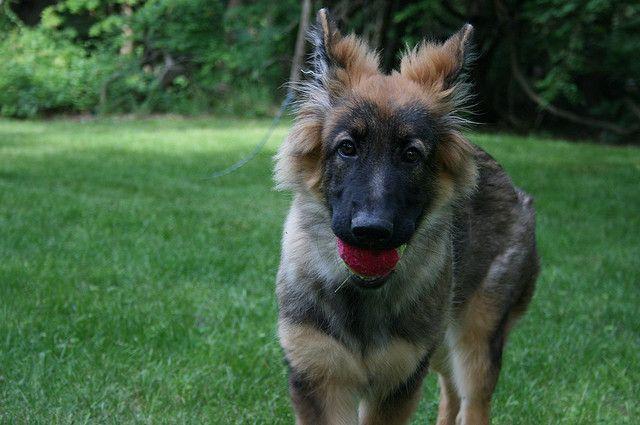 German Shepherd Characteristics Dog Breeds At Newpetowners
