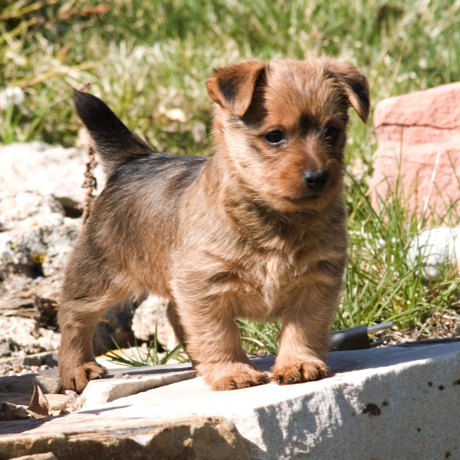 Australian Terrier Characteristics Dog Breeds At