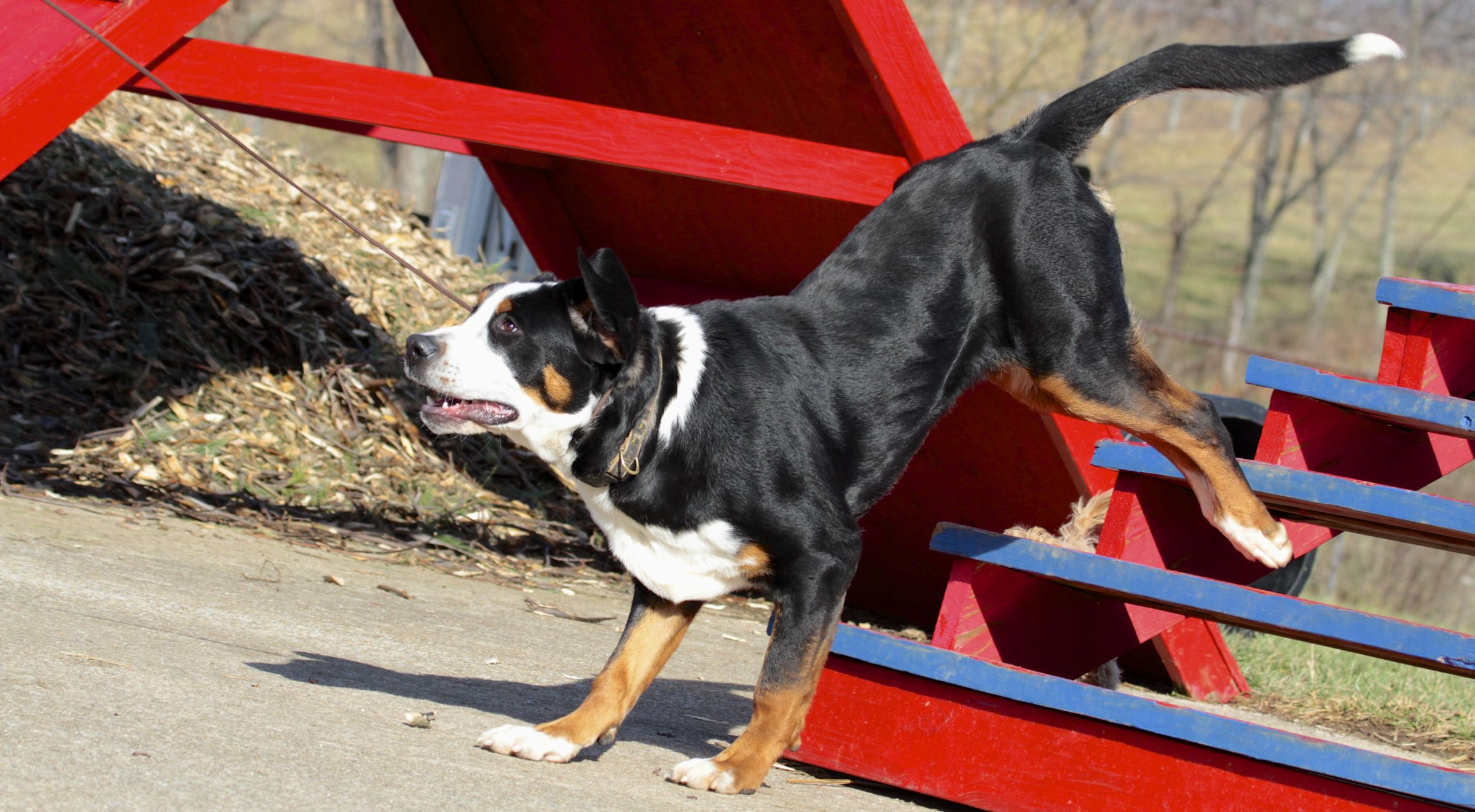 Greater Swiss Mountain Dog Information - Dog Breeds at ...